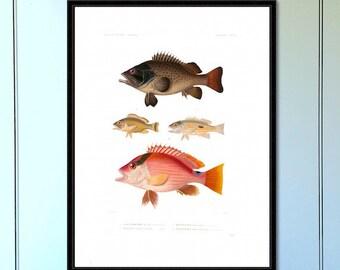 Fish Series (no.2) Antique Reproduction Print  coastal art wall art vintage print home decor antique print nautical print giclee