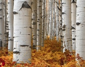 Aspen Trees Aspens Aspen Fall Autumn Ferns Forest Woods Trees Rustic Cabin Lodge Photograph