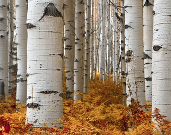 Aspen tree wall art, fall decor, Colorado art, aspen trees fall, nature print, rustic wall decor, aspen trees Colorado, fall trees art