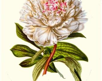 antique french victorian botanical print white peony illustration digital download