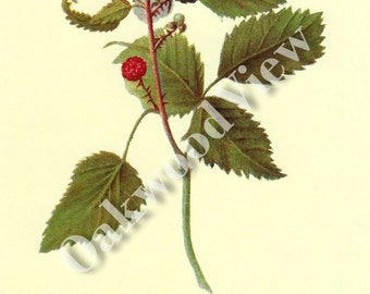 Winfield Raspberry Print by Deborah Griscom Passmore, Vintage 1994 8x12 Home Decor Botanical Art, Botany, Fruit Berry Berries, FREE SHIPPING