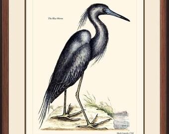 BLUE HERON - Vintage Catesby Bird print reproduction - 6