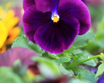 Plum Pretty Pansy - Flower Photography - Photo Print - Size 8x10, 5x7, or 4x6