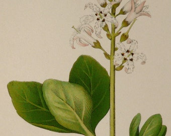 1890 Antique fine lithograph of a BOGBEAN FLOWERING PLANT. Buckbean. Menyanthes trifoliata. 126 years old print
