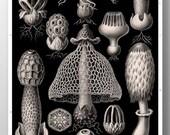 Cyber Monday Sale - Mushroom Print, Mushroom Art, Poster, Ernst Haeckel, Fungi Basimycetes/Stinkhorn Mushrooms Illustration, Botanical Art