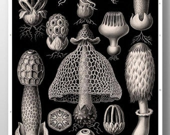 Mushroom Print, Mushroom Art, Poster, Ernst Haeckel, Fungi Basimycetes/Stinkhorn Mushrooms Illustration, Botanical Art