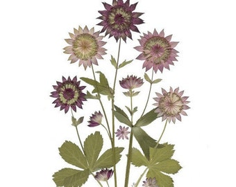 Pressed Flower Cards - Astrantia -  Set of 6 notecards - #068