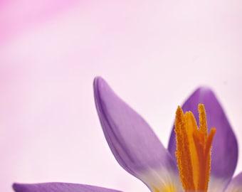 Crocus Flower Photography, Purple Flower Wall Art Photo Print, Minimal Modern Floral Photograph, Vertical Wall Art, Lavender and White Decor
