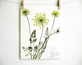 Queen Anne's Lace Print, #33, pressed botanical print pressed wild carrot art herbarium specimen art scientific flower wall art summer art