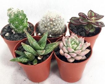"""Cactus/Succulent Terrarium/Fairy Garden Plants - 5 Different Plants - 1.75"""" Pots"""