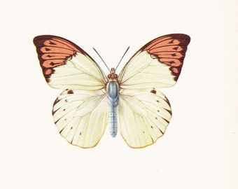 vintage butterfly insect art print The Great Orange Tip Hebomoia glaucippe home decor 8x10 inches
