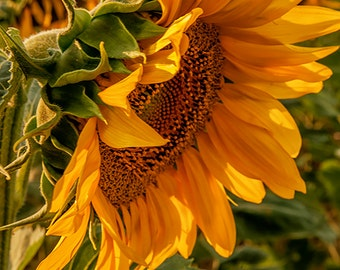 Photo Art - Photography - Sunflowers