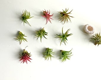 Sale Set of 9 baby Air plants+ 1 free sea urchin  1 extra air plant grab bag diy projects - wedding favor -air plant  craft supplies