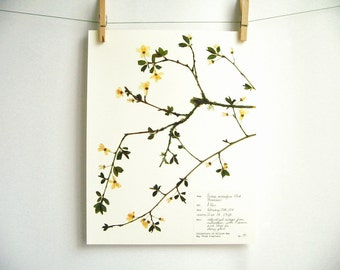 Cherry Plum Print, #190, pressed tree branch spring flowers herbarium specimen botanical art print of original pressed plant art dried plant