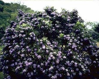 Sophora Secundiflora Seeds - Mescal Bean - Texas Mountain Laurel Tree