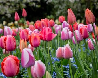 France Photography, Tulips, Monet's Garden, Giverny, Fine Art Flower Photography, Travel Photography, Romantic France, Flower Wall Print
