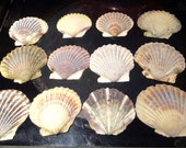 "12  Bay Scallops 2-3""  for Shell Projects, Shell DIY, Shell Crafts Authentic Hand Collected from Cape Cod Massachusetts Multi Colored"