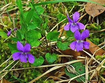 Violet leaf Abs