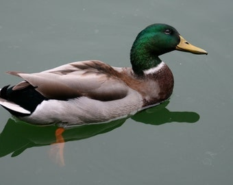 Photograph of beautiful duck, duck photograph, natural life photograph, animal photo, gift
