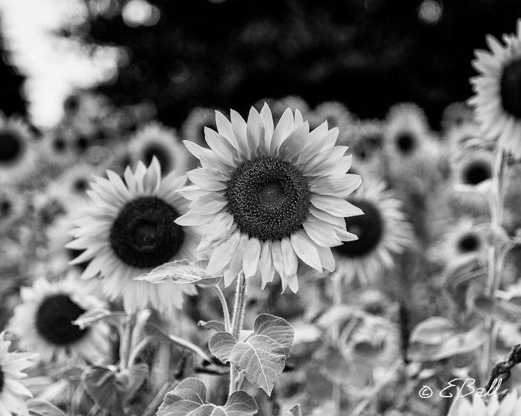 Sunflower Field in Monochrome ( Black and White ) Photo ...