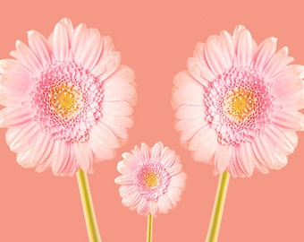 A6 Greeting Card 105mm x 148mm (blank inside)-with envelope, photo greetings card, fine art card, 3 pink chrysanthemum on pink background.