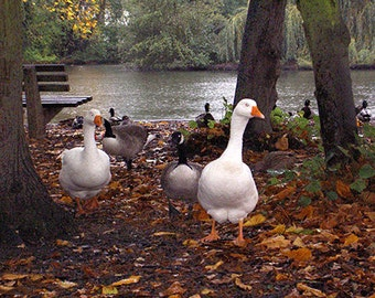 A6 Greeting Card - Geese at Canons Park - 105mm x 148mm (blank inside)- with envelope, photo greetings card, fine art card