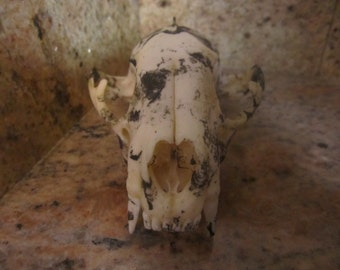 Cookies and Cream Raccoon Skull