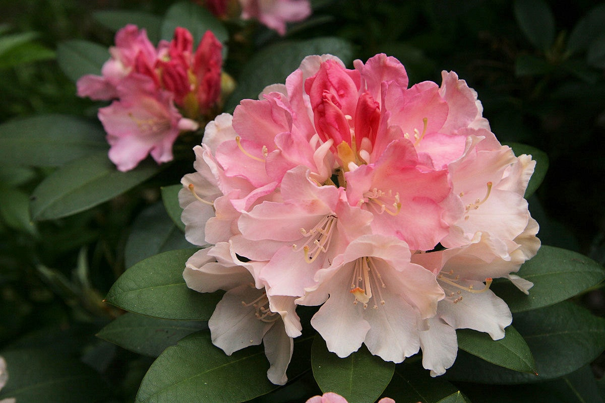 rhododendron golden torch pink bloom fading to golden cream. Black Bedroom Furniture Sets. Home Design Ideas