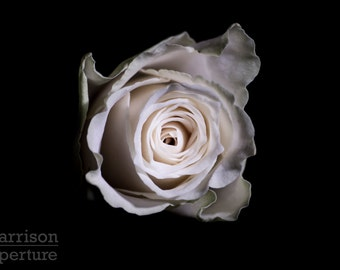 White Rose - Low Key print | HarrisonAperture