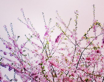 """Vintage Cherry Blossoms and Pink Sky, Square 5"""" x 5"""", Fine Art Photography, Wall Art Decor"""