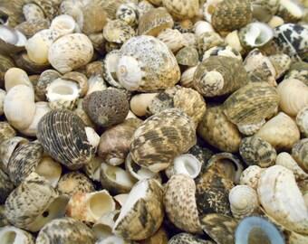 """100 Mixed Nerita Shells Seashells 1/2""""-3/4"""" (12-18mm) Craft Aquarium Decor"""