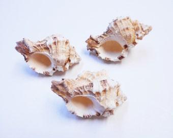 "Set of 3 Beautiful Apple Murex Shells (2 1/2""-3"") Hermit Crab Beach Decor Crafts"