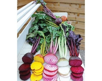 Rainbow Mix Beet (25 thru 1 oz seeds) Red and Golden Detroit, Chioggia and White 316