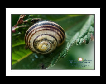 Snail Shell (Print Only)