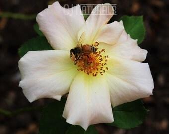White Rose Photograph, White Rose Print, White Rose with Bee, Floral Photography, White Flower Photo, Large Art Print, 8 x 10, FREE SHIPPING
