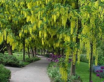 Cassia Fistula, Tropical Fragrant Golden Shower Tree 20/100/500 Seeds, Flowering Garden Landscape