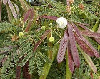Leucaena Leucocephala, Miracle Lead Tree, Koa Haole 20/150 Seeds, Fixes Nitrogen