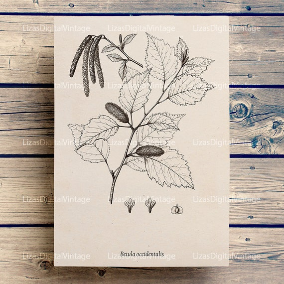 Printable digital vintage illustration, Birch tree, Botanical, Tree art, Printable graphics, Download antique Image, Birch print JPG PNG