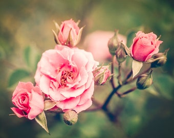 Roses, Pink Roses, Macro, Flower Photography,