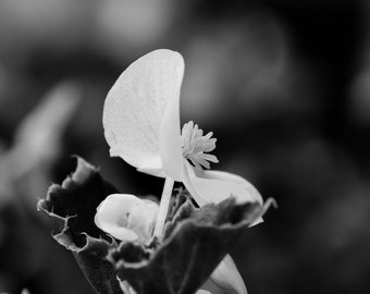 Black & White Flower 4 photograph