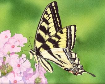 Western Tiger Swallowtail III