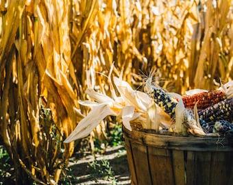 Corn - Corn Photo - Harvest - Harvest Photo - Fall - Countryside - Digital Photo - Digital Download - Instant Download - Farmhouse Decor