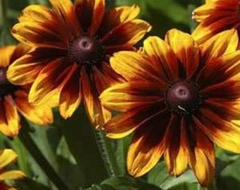 Rudbeckia Autumn Forest Flower Seeds/Hirta/Annual  50+
