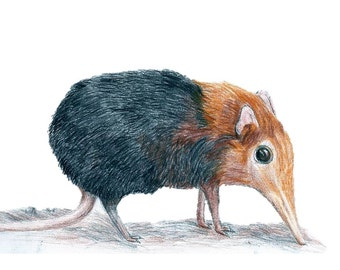 An Elephant Shrew Print. An A4 children's playroom artwork. Of a African Rodent Illustration.For Scientific Illustration, Small Animal Decor