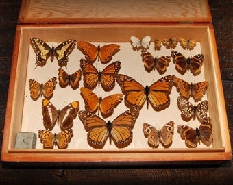 Butterfly Collection In Wooden Box
