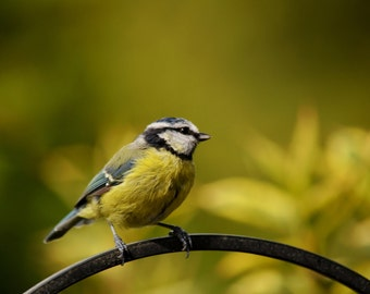 Blue Tit Photographic Greetings card (Blank inside)