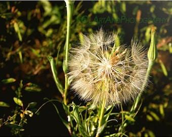 Nature Photograph of Dandelion, Dandelion Photo, Fine Art Photography, Nature Art,Dandelion Art Photograph,Fine Art Print,Nature Photography