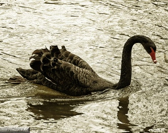 Black swan photo print fine art selective color at claythorpe water mill