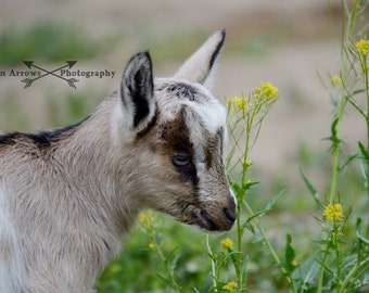 Goat Kid Smelling Flowers Photography Print