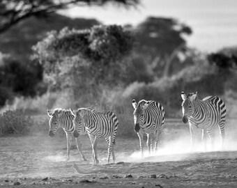 Four Zebra